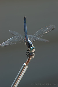 Dragonfly that took ownership of my father's car via the antenna. :)