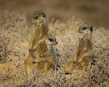 Meerkat Morning