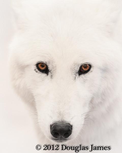 Arctic Wolf Eye-to-Eye
