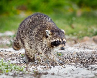 Raccoon Beach Bum