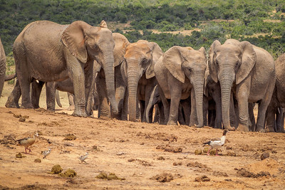 Egyptian Geese versus Elephants