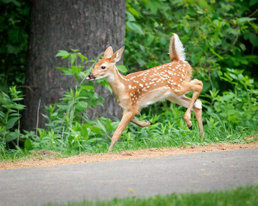 Fawn in a Hurry