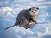 Backyard Opossum
