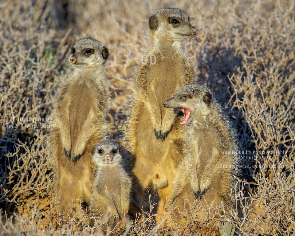 Meerkat Monday
