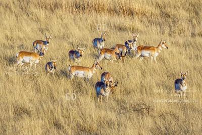 Sonoran Pronghorn Antelope