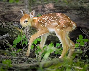 Newborn White-tailed Deer