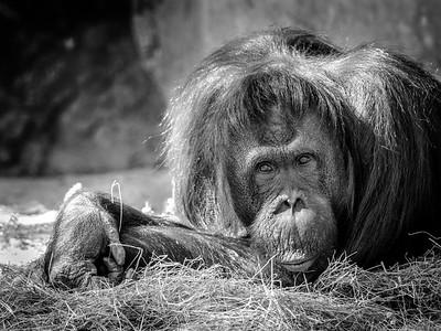 Bornean Orangutang