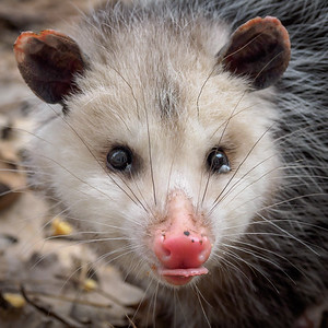 Backyard Opossum