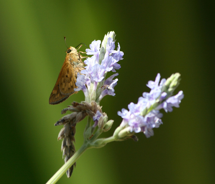 I have no idea what this beautiful critter is (other than perhaps a moth) but it just loved the lavender.