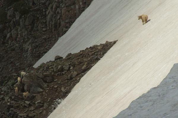 Extreme Hoof Skiing