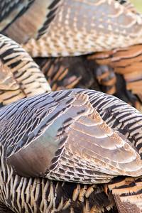12. American Turkey Texture