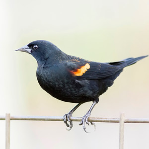 9. Red-winged Blackbird