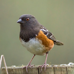 6. Spotted Towhee