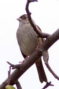 5. Yellow-crowned Sparrow