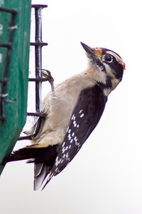 1. Downy Woodpecker