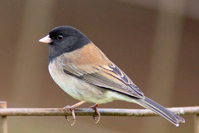 14. Dark-eyed Junco