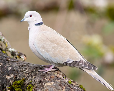17. Eurasian Collared-Dove