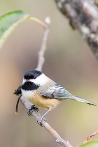 18. Black-capped Chickadee