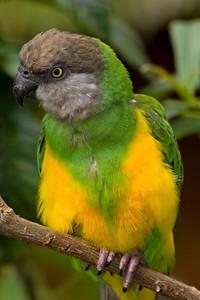 "Senegal Parrot, ""Akbar"""