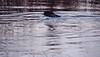beaver crossing land in winter