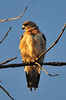 Swainson's Hawk<br /> Sunset on the South Platte