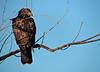 Light Morph Red Tail Hawk