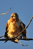 Swainson's hawk ruffles its feathers prelaunch.<br /> Sunset on the South Platte