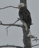 Bald Eagle, Almont
