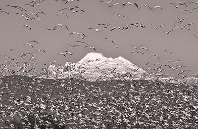 Mount Baker Snow Geese Flock