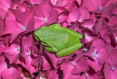 Green Frog on a Pink Hydrangea