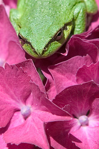 Green Frog up close on a Pink Hydrangea