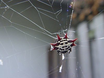 Jewel, Crab or Spiny Spider (Gasteracantha cancriformis or Gasteracantha elipsoides) (October 22, 2005)