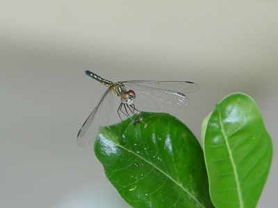 There were two dragonflies hanging around in my garden today.  This was the smaller of the two.  (September 10, 2005)