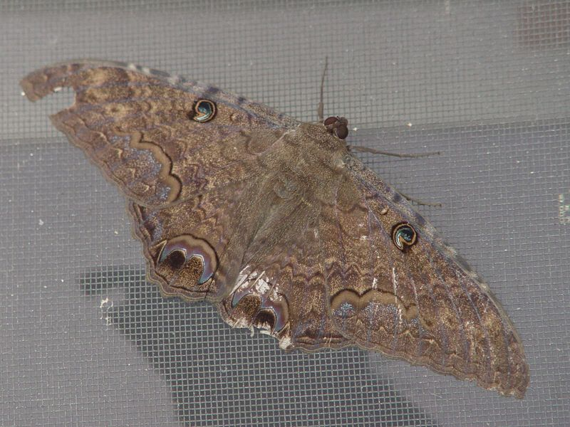 "This moth was approximately 5 inches wide and was resting on the patio screen door. I <i>think</i> it belongs to the ""Saturnidae"" family and is a Pavonia pavonia. (August 21, 2004)"