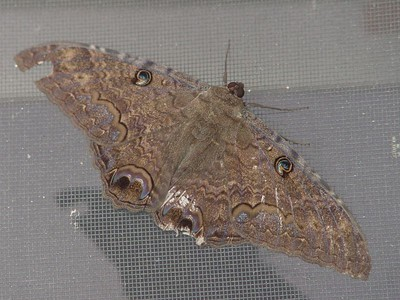 "This moth was approximately 5 inches wide and was resting on the patio screen door. I think it belongs to the ""Saturnidae"" family and is a Pavonia pavonia. (August 21, 2004)"