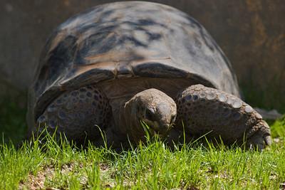 Aldabra Tortoise, Geochelone gigantea