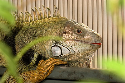 Bearded Dragon, Poguna vitticeps