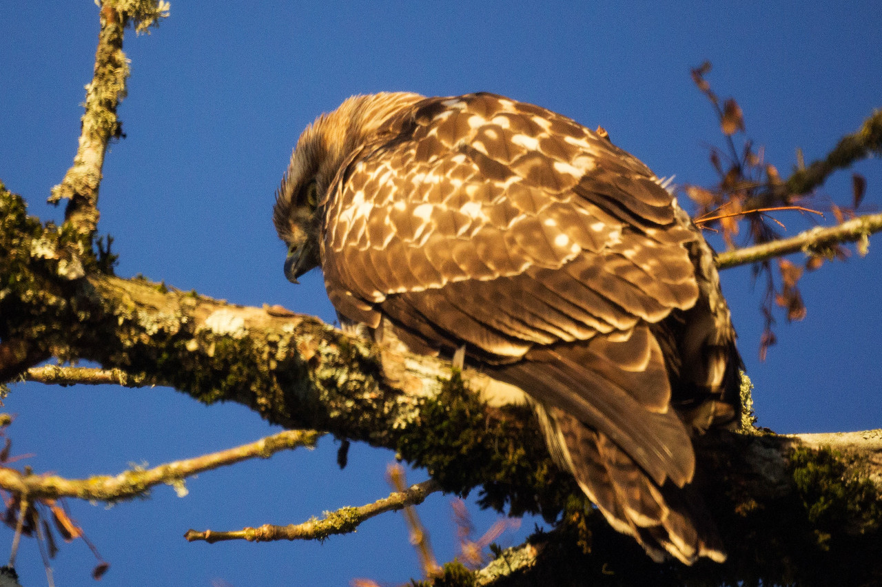 2nd Red-Tailed Hawk: Pose 1
