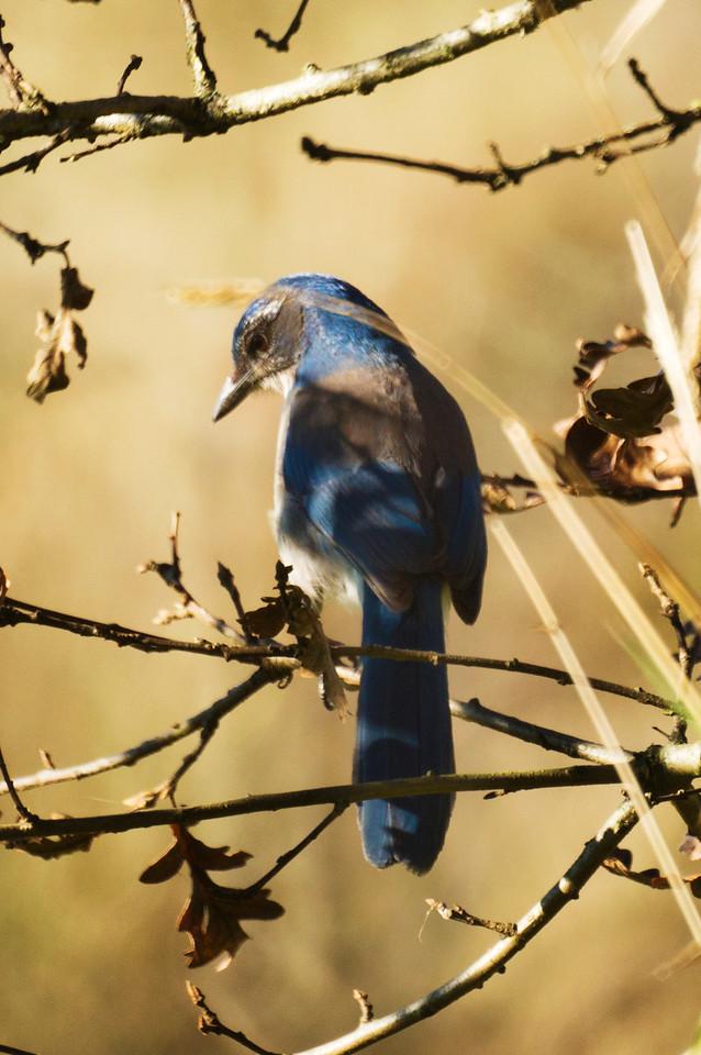 Scrub Jay Posing as Mountain Blue Bird