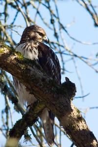 Hawk Profile Right
