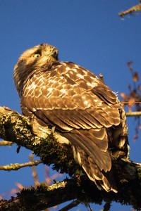 2nd Red-Tailed Hawk: Pose 4