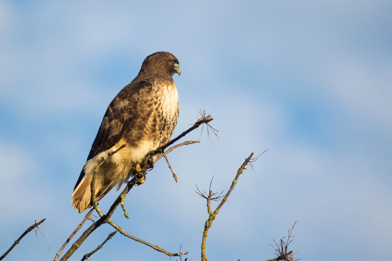 6th Red-Tailed Hawk