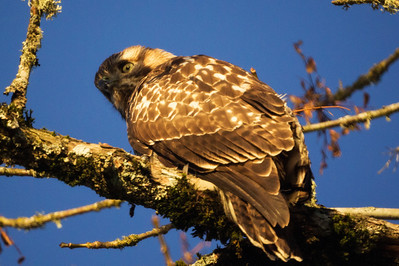 2nd Red-Tailed Hawk: Pose 2