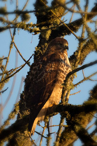 1st Red-Tailed Hawk: Pose 3