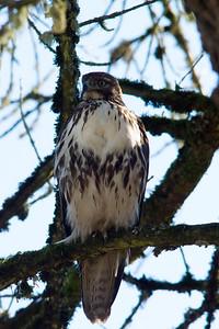 Hawk Profile Left