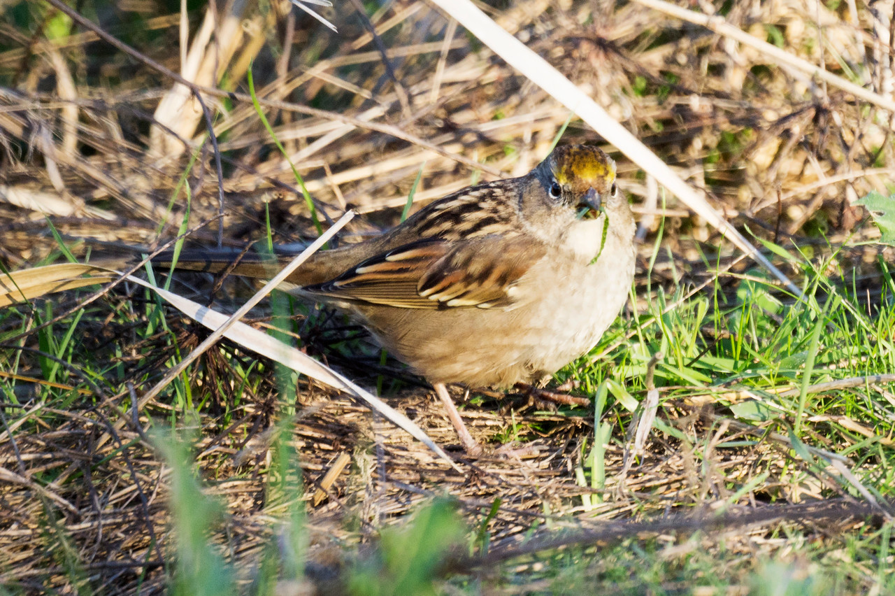 2nd Golden-Crowned Sparrow
