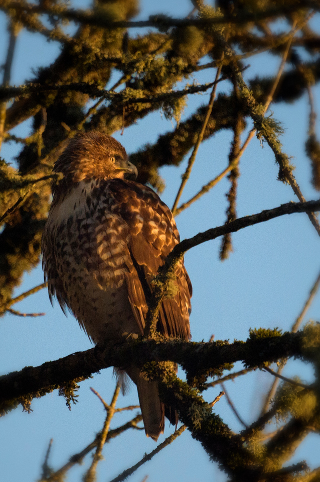 1st Red-Tailed Hawk: Pose 1