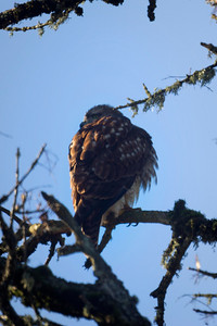 4th Red-Tailed Hawk