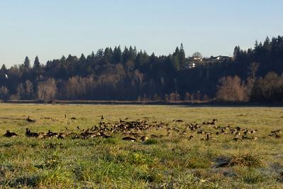 Goose Gathering