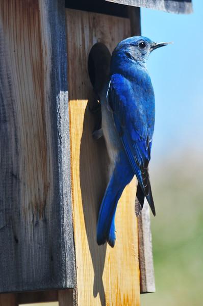 bluebird checking out my birdhouse